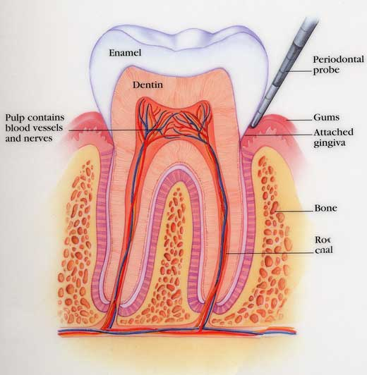 Image result for image tooth cross section